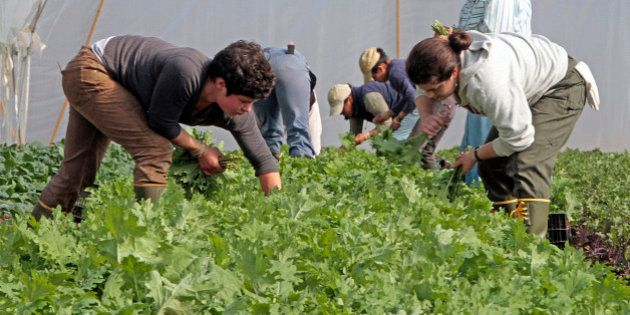 FILE - In this May 7, 2012 file photo, workers harvest greens at Pete's Greens in Craftsbury, Vt. The...