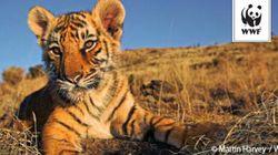 インドのトラ、大幅に増加していることが判明「トラ全体の保護においても朗報」