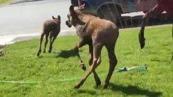 暑さでへばったヘラジカの赤ちゃんたち、スプリンクラーで大はしゃぎ(動画)