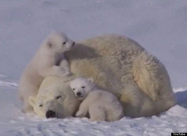シロクマの子供達がお母さん大好き!と、じゃれ合う(動画)