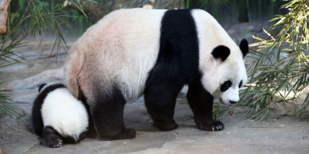 FOSHAN, CHINA - DECEMBER 09: (CHINA OUT) Giant panda Juxiao plays with her cub, one of the panda triplets...