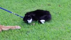 この猫ちゃん、お散歩行きたくなさすぎ。(動画)