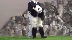 そっち行っちゃダメだってば......。赤ちゃんパンダを必死に止める飼育員の奮闘ぶり(動画)