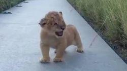 ライオンの子供は、こうやって吠える「がおー」。