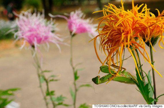 これぞ匠の技。1株で600輪の花が咲く、菊花壇展の「千輪作り」がすごい(画像)