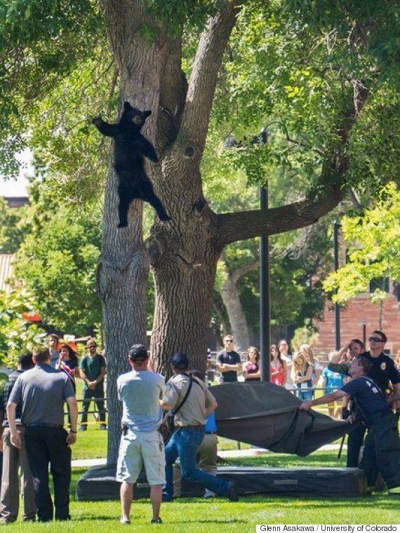 クマは樹から落ちた......うちの大学のキャンパスだけど。