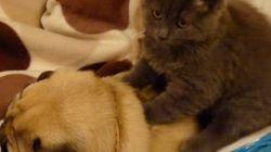 グゥ。猫のモミモミが気持ちよすぎて、パグのイビキが止まらなーい(動画)