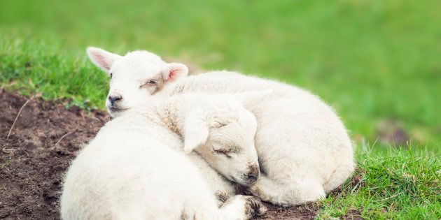 Two tired young lambs curled up and resting