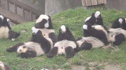 パンダの赤ちゃんが、一気にミルクを飲みはじめたあああ(動画)