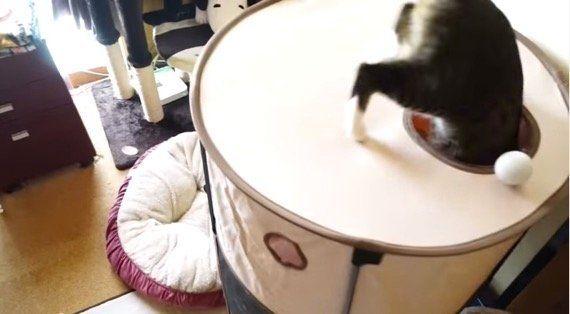 ゴルフボールを追いかけて、猫はカップに球より先に