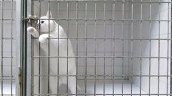 この白猫は、どんな鍵もスイスイ開けて脱走するらしい。(画像)