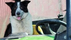 犬が運転したトラクター、幹線道路で渋滞を引き起こす