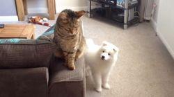 白いワンコが、猫と仲良くなるまでの物語【動画】
