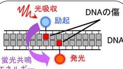 DNAの傷の塊発見、重粒子線効果に根拠