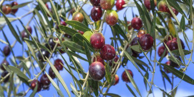 Japan, Shikoku Region, Kagawa Prefecture, Shodoshima-cho, Close-up of olives on tree against sky. (Photo...
