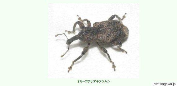 「オリーブアナアキゾウムシ」が謎すぎると話題に。日本固有種なのに...