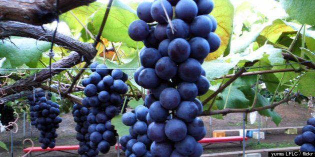 ワイン生産に気候変動で大きな影響が