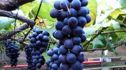 気候変動でワイン生産に大きな影響