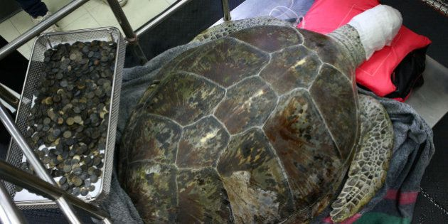 Omsin, a 25 year old femal green sea turtle, rests next to a tray of coins that were removed from her...