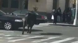 ニューヨークで雄牛が食肉処理場から脱走 警察が大追跡(画像・動画)