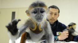 「世界一美しいサル」の赤ちゃん、横浜・ズーラシアが人工哺育に国内初成功 2頭目も奮闘中
