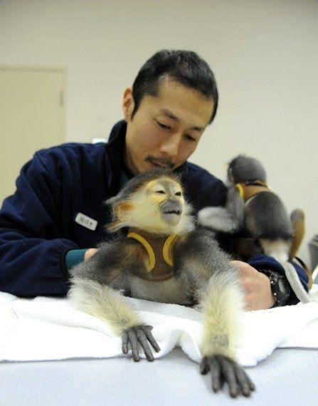 「世界一美しいサル」の赤ちゃん 人工哺育に国内で初成功、2頭目も奮闘中 よこはま動物園ズーラシア
