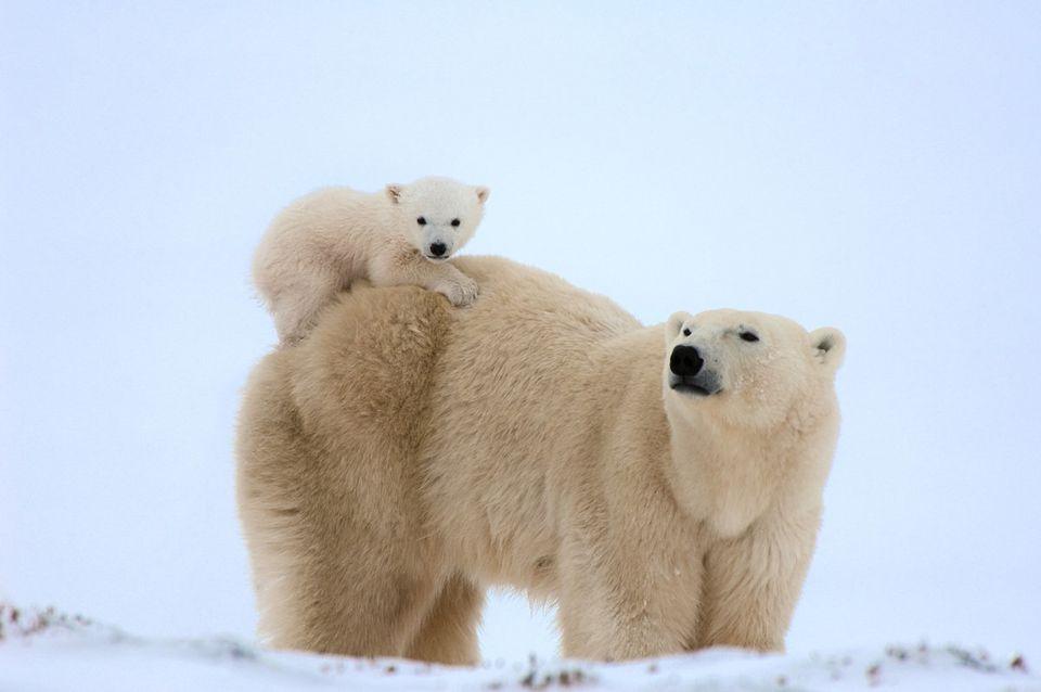 ものすごく可愛い「シロクマの三つ子の赤ちゃん」