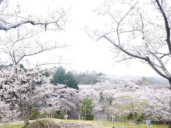 雨にも風にも負けず 東日本大震災から5年、復興記念桜が今年も開花