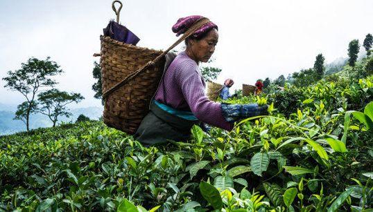 1杯4900円 インド史上最高値で取引された紅茶はこうやって作られる(画像)
