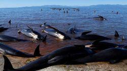 クジラ大量爆発の危険 ニュージランドで必死の「ガス抜き」作業