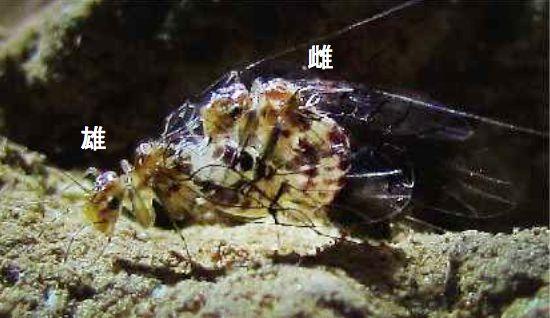 交尾状態のトリカヘチャタテの一種。昆虫の一般的な交尾とは異なり、オスの上にメスが乗りかかる姿勢で交尾する。