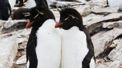 生涯を添い遂げるので有名なイワトビペンギン、本当は別居していた
