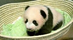 赤ちゃんパンダの名前、「シャンシャン」(香香)に決まる