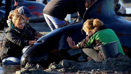 クジラ400頭以上打ち上げられる 救出も「望み薄くなりつつある」(画像)
