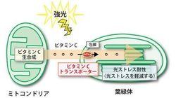 葉の光障害を防ぐビタミンC輸送体を特定 光に強い作物を育成するのに役立つ成果