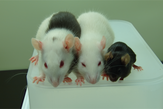 キメラ膵島でマウスの糖尿病を抑える