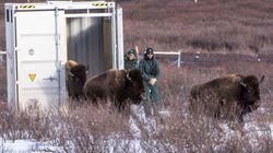 狩猟で絶滅の危機に瀕したバイソン、130年ぶりにカナダで野生に復帰へ