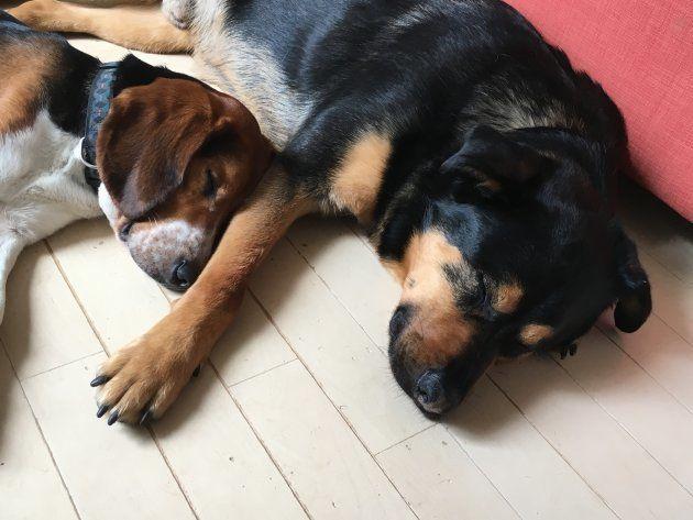 一時預かり中のビーグル、ボー(左、一時預かり中の仮名)。佐藤さんの愛犬ピーターと仲良く寝ていた