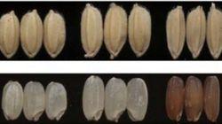 コメ粒を大きくする遺伝子を発見、食料不足を解決の可能性も