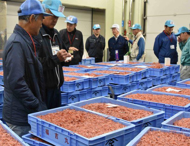 サクラエビの品定めをする仲買人=静岡市清水区の由比漁港