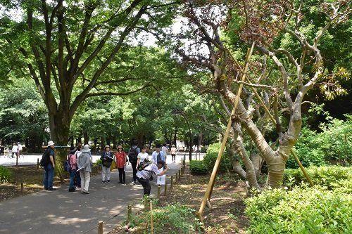 ●移植されたヤマモモの木(右)はその後に枯れた=筆者撮影