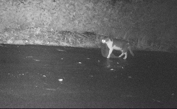 島で野生化したネコが希少動物を襲う 一歩先を進む小笠原の対策とは