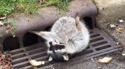 「たすけて〜〜」太っちょアライグマさんの救出大作戦が微笑ましい