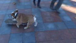 スケートボード犬がデモ隊に突撃、怒りを笑いに変える(動画)