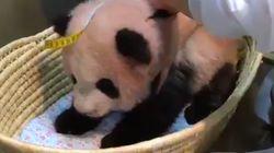 えっ、パンダの体長ってそうやって測るの…?(動画)