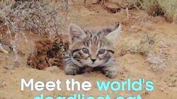 """""""世界で最も恐ろしいネコ""""が、可愛すぎる(動画)"""