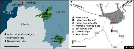 エボラ出血熱、西アフリカでの流行に至った「最初の感染源」とは(研究結果)
