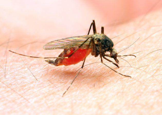マラリア原虫を媒介しているハマダラカ