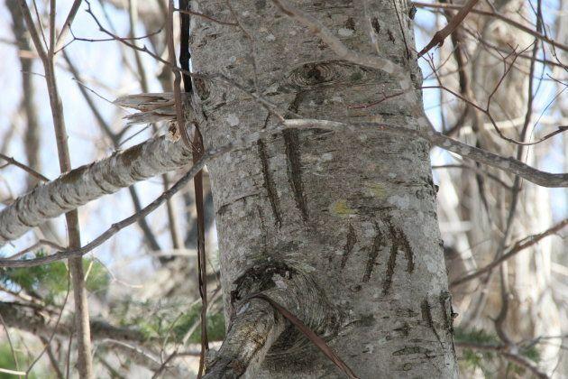 ヒグマが木に登った爪痕。数年前につけられたものと考えられています(3月30日撮影)