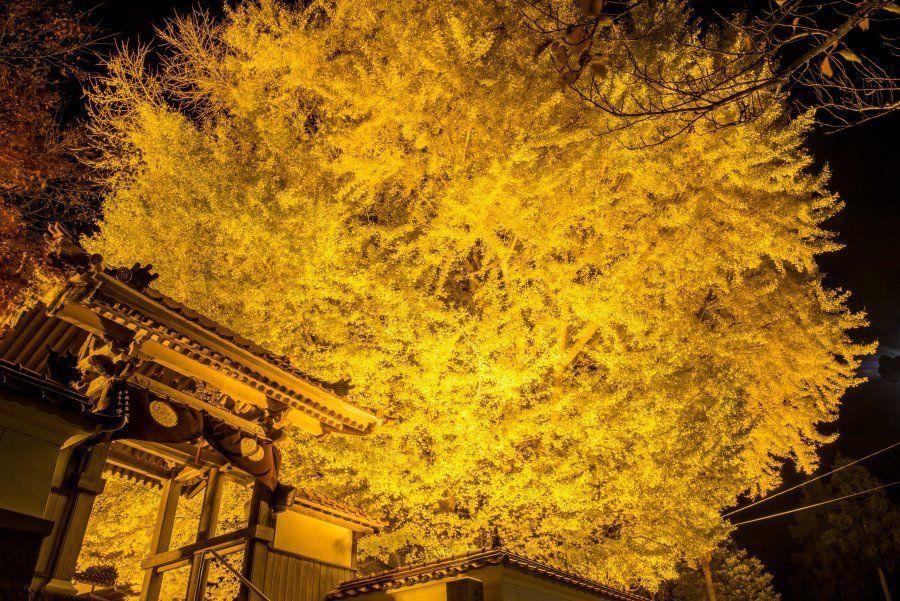 島根県大田市、浄善寺の大銀杏